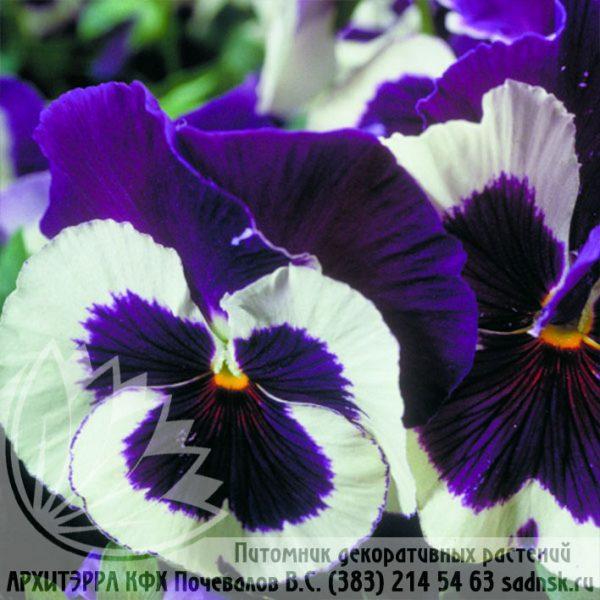 Виола Пауэр блу энд вайт Viola Power blue and white