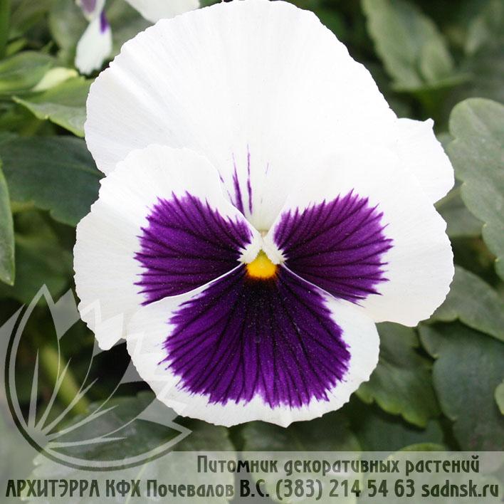 Виола Пауэр вайт виз блотч Viola Power white with blotch