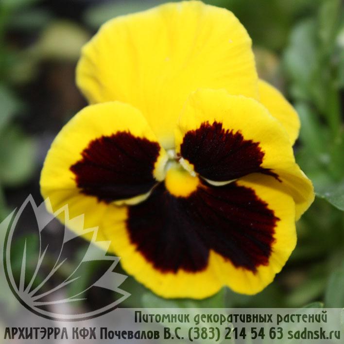 Виола Пауэр йеллоу виз блотч Viola Power yellow with blotch