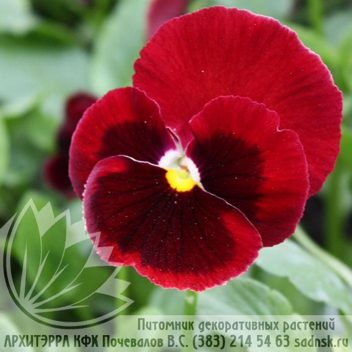 Виола Пауэр рэд виз блотч Viola Power red with blotch