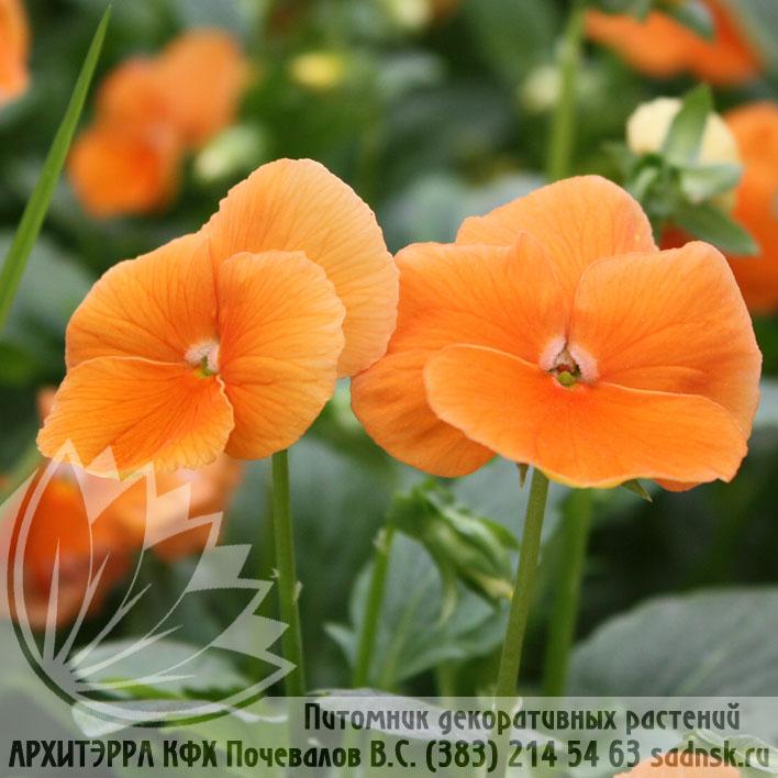 Виола Дип Оранж Viola Deep Orange