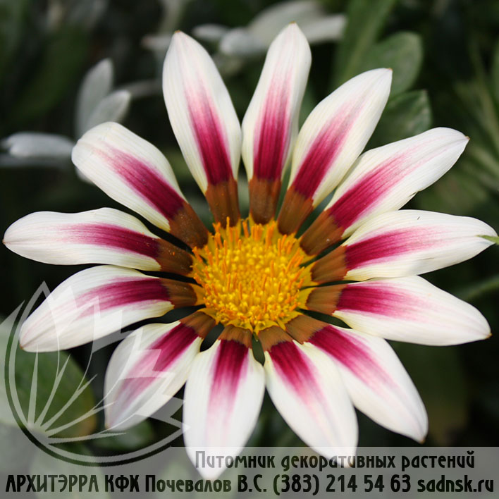 Гацания жестк. Нью дэй роуз страйп Gazania New day rose stripe