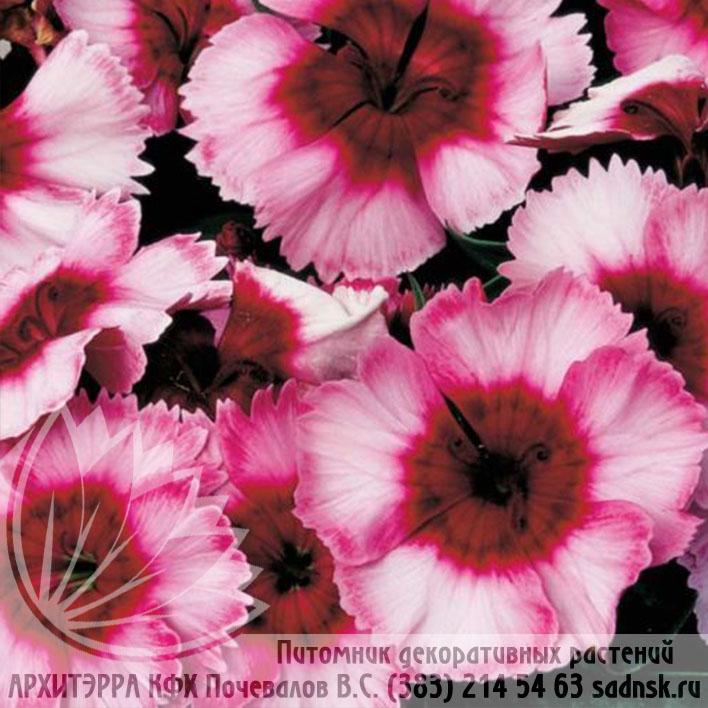 Гвоздика Супер Парфейт распберри Dianthus Super Parfait raspberry