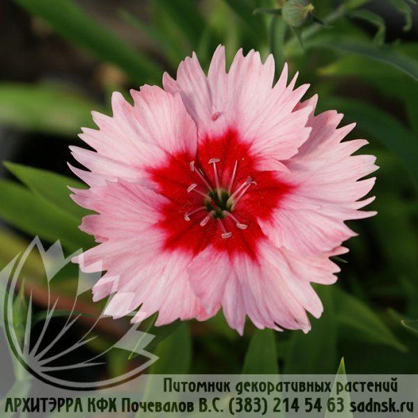 Гвоздика Супер Парфейт стравбери Dianthus Super parfait strawberry