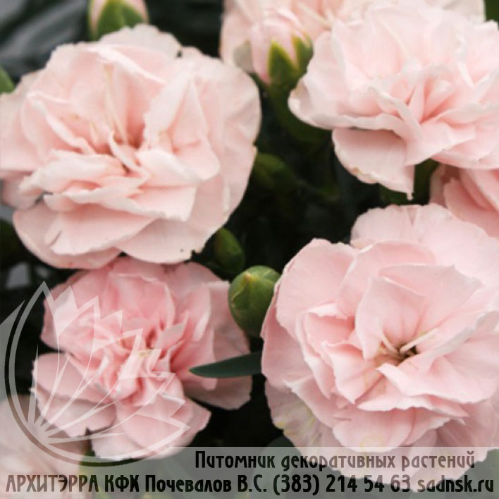 Гвоздика Лилипот лавандер пинк Dianthus Lilipot lavender pink