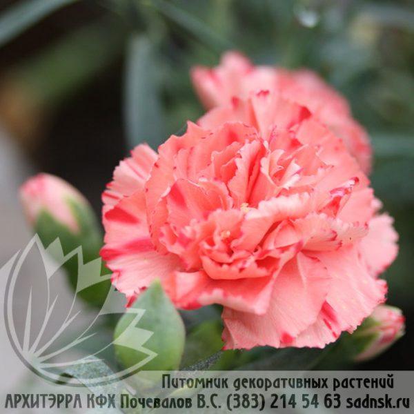 Гвоздика Лилипот орэнж биколор Dianthus Lilipot orange bicolor