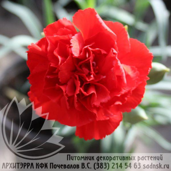 Гвоздика Лилипот скарлет Dianthus Lilipot scarlet
