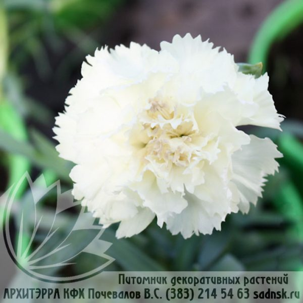 Гвоздика Лилипот вайт Dianthus Lilipot white